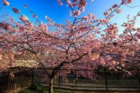 Prologue 2020桜咲く京都 淀水路の河津桜 - 花景色-K.W.C. PhotoBlog