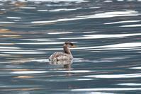 アカエリカイツブリ - ごっちの鳥日記