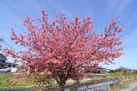 川辺の陽光桜♪ - happy-cafe*vol.2