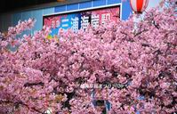 わかるかなぁ 『三浦海岸 桜まつり2020』 - 写愛館