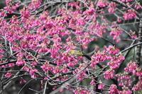 先駆けて咲く桜 - 駄猫と本の部屋 ぶらん亭