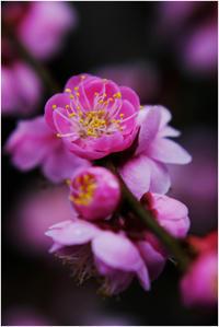ピンクの梅 - HIGEMASA's Moody Photo