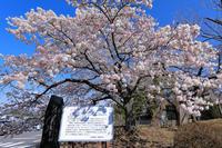 帯桜(オビザクラ)① - やきつべふぉと