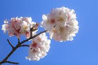 帯桜(オビザクラ)② - やきつべふぉと