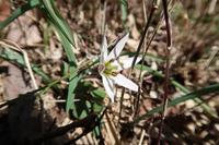 ■春先の花 3種20.3.2(アマナ、タンポポ、キクザキイチゲ) - 舞岡公園の自然2