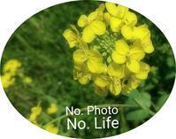 Rape    blossoms ❗ - LAGOMな……PHOTO   LIFE !
