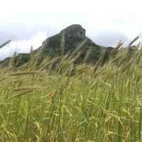 伊江島の小麦。 - 治華な那覇暮らし