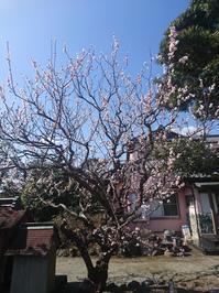 そういえば、今日はひな祭りの日 - 猫屋の今日も園芸日和〜ギボウシ達の庭〜