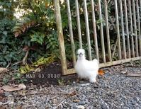 ウコッケイの散歩① - 烏骨鶏かわいいブログ
