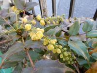 ヒイラギナンテン(そしてキュウリグサ) - 庭を眺めて…コーヒータイム