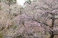 東日本で一番美しい枝垂れ梅が咲く庭園(その後半) - 旅プラスの日記
