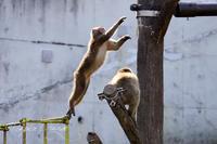茶臼山動物園2020年2月23日ニホンザル - お散歩ふぉと2