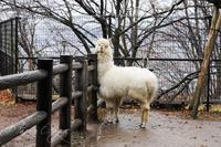 茶臼山動物園2020年2月23日アルパカ - お散歩ふぉと2