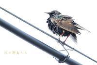 ホシムクドリ - 北の野鳥たち