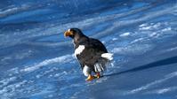 流氷観光の雄姿オオワシ - 北国の花鳥風月