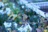寒い朝、小雨の降るなかに咲き始めた白い水仙 - 一場の写真 / 足立区リフォーム館・頑張る会社ブログ