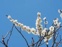 梅の薬師池公園を散歩しました。(3) - ご無沙汰写真館