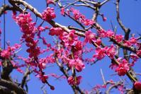 梅の花☆薬草園 - さんじゃらっと☆blog2