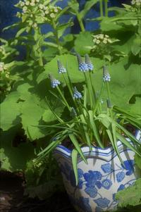 blue & white in my garden - バラとハーブのある暮らし Salon de Roses