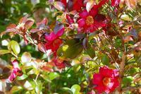山茶花の花にメジロさん - なんでもブログ2