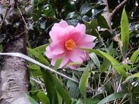 ツバキ(そしてミツマタ) - 庭を眺めて…コーヒータイム