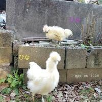 ウコッケイをお外で洗う - 烏骨鶏かわいいブログ