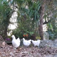 羽が乾いて、お散歩 - 烏骨鶏かわいいブログ