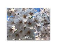 櫻咲く - 雪割草 - Primula modesta -