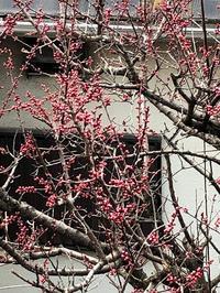 杏の花 - 日々徒然に・・・