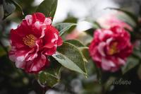 氷室椿庭園*回想 其の壱 - MIRU'S PHOTO