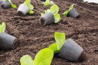 はくさいの植え替え、ビニールポットから直に植えます。 - NPO法人セラピア函館代表ブログ アンシャンテルール就労継続支援B型事業所は現在休止 セラピアは活動中