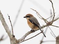 渡良瀬遊水地のモズ - コーヒー党の野鳥と自然パート3
