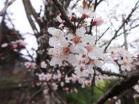 プラムの花 - だんご虫の花