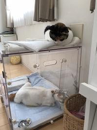 とらちゃん、良くないです - ゆきももこの猫夢日記