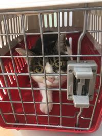 めぇちゃん退院、チーエクは大丈夫、とらちゃん6回目の輸血 - ゆきももこの猫夢日記