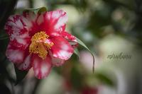 氷室椿庭園*回想 其の弐 - MIRU'S PHOTO