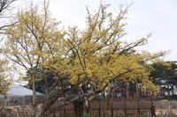 ハルコガネバナ (2020/3/8撮影) - toshiさんのお気楽ブログ