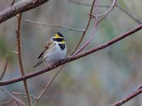お山のミヤマホオジロ/カシラダカ、番外はカモシカ君 - トドの野鳥日記