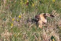 狩りに失敗したコミミ - 比企丘陵の自然