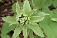 フキ 蕗の花 - 里山の四季
