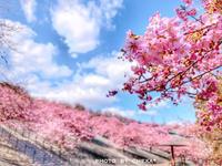 21世紀の森公園  河津桜見頃✨ - C* 日和
