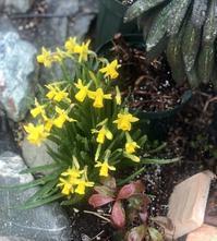 春の芽吹きや蕾達♡と、ノイバラの生命力♫ - 薪割りマコのバラの庭