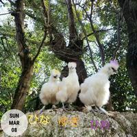 岩場で遊ぶウコッケイ - 烏骨鶏かわいいブログ
