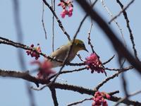 『寒緋桜(カンヒザクラ)と土佐水木(トサミズキ)と曙馬酔木(アケボノアセビ)等・・・・・』 - 自然風の自然風だより