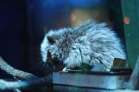 日本初!ウスイロホソオクモネズミの赤ちゃん誕生!!(埼玉県こども動物自然公園) - 続々・動物園ありマス。