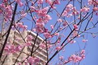 それでも桜は咲くんです🌸 - みけらぶさんぽ