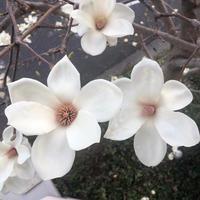 早く咲いたハクモクレン - か ん ば ら 日 記