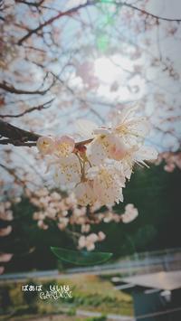 じいじとばあばのお庭、サクランボの花「暖地桜桃」満開 - どんぐりの木の下で……