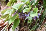 銀山平で見られる紫色のスミレ - 奥只見・銀山平で見られる山野草