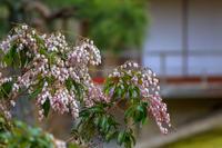 和風庭園のアセビ - やきとりブログ
